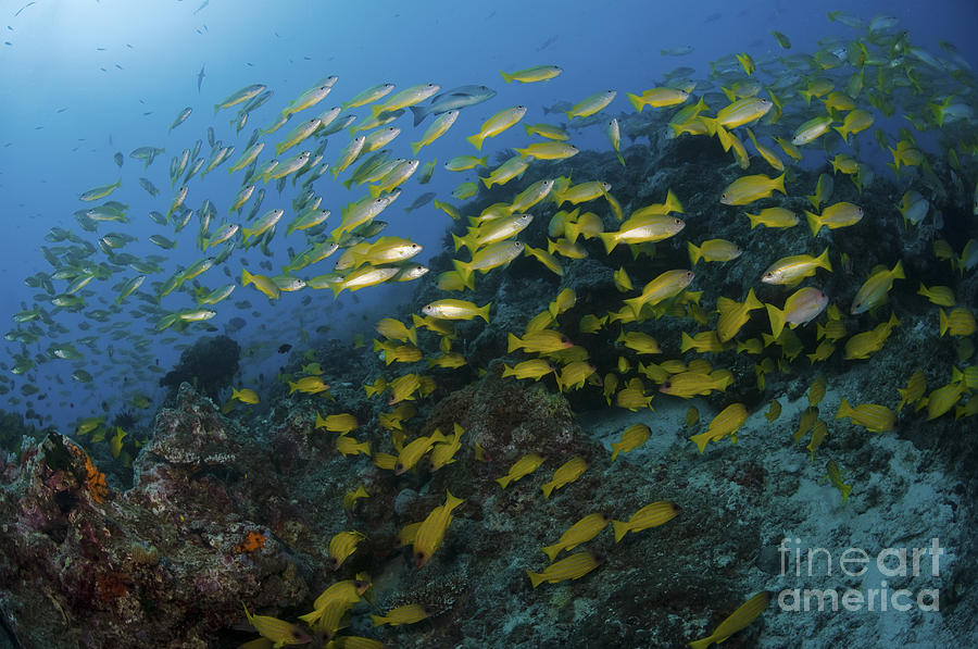 School Of Yellow Snapper, Great Barrier Photograph