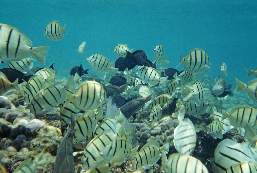 Schools of fish swarm a hawaiian reef photograph by gordon for Hawaiian reef fish
