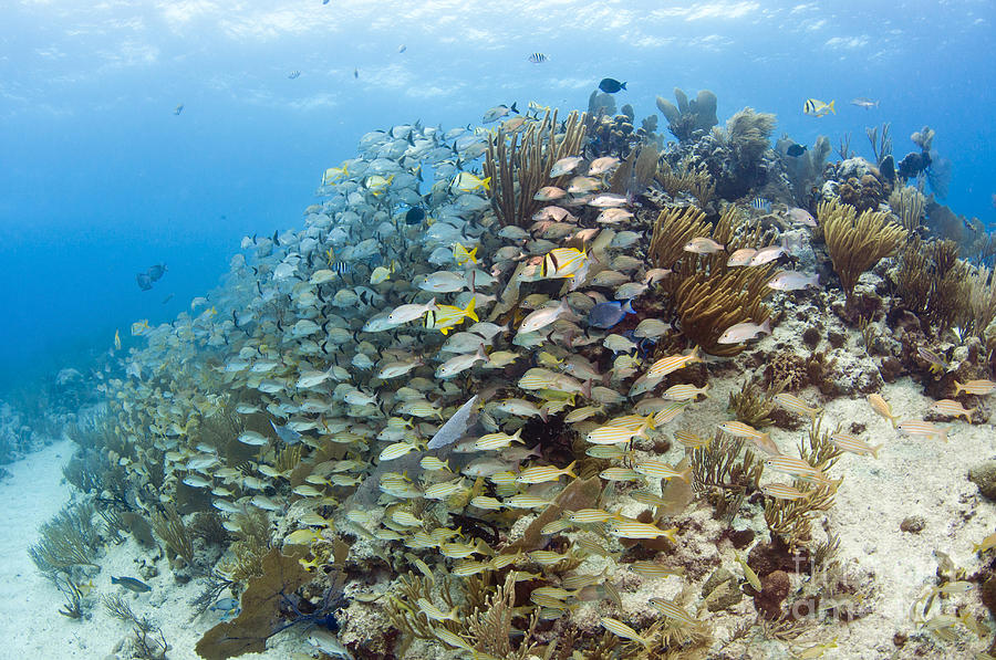 Schools Of Grunts, Snappers, Tangs Photograph  - Schools Of Grunts, Snappers, Tangs Fine Art Print