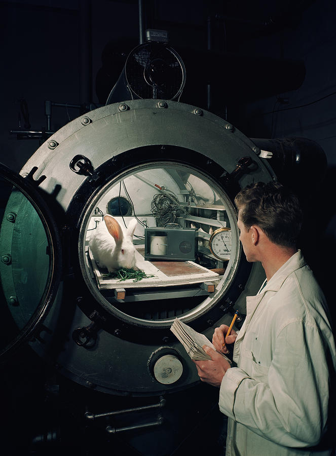 Scientist Observes A Rabbit, 1960s Photograph  - Scientist Observes A Rabbit, 1960s Fine Art Print