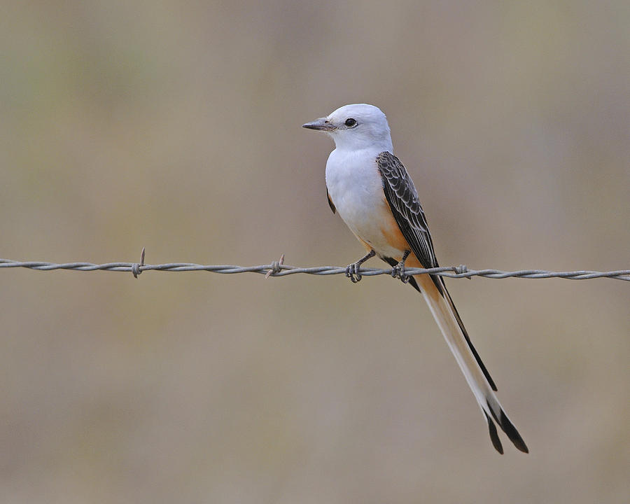 Scissor-tailed Flycatcher Photograph