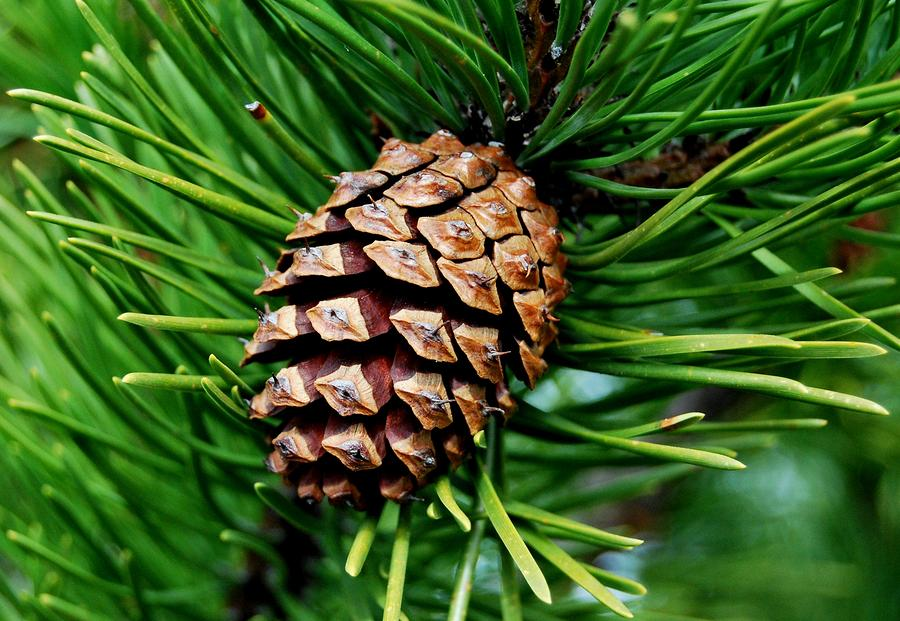 Scotch pine cone by marilynne bull for Large pine cones