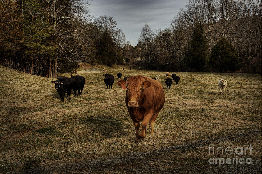Scotopic Vision 9 - Cows Come Home Photograph