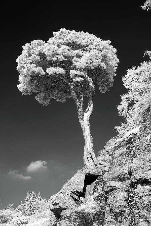Scots Pine Tree Photograph