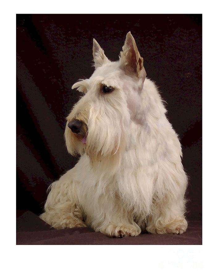 Scottish Terrier - Scotty 107 Digital Art  - Scottish Terrier - Scotty 107 Fine Art Print