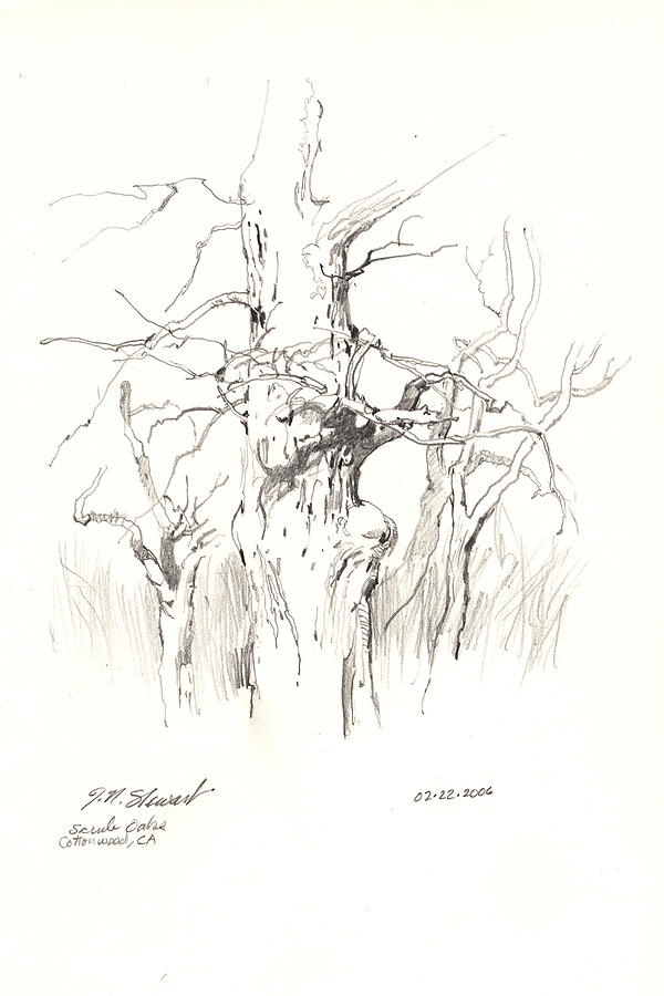 Scrub Oaks In Cottonwood Drawing  - Scrub Oaks In Cottonwood Fine Art Print