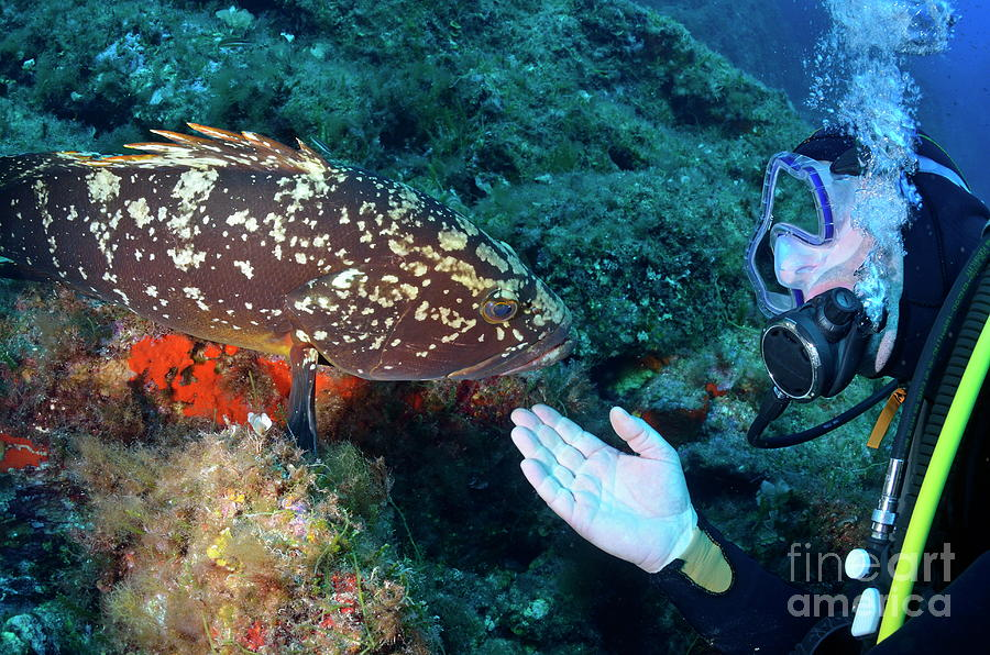 Scuba Diver With A Dusky Grouper Photograph
