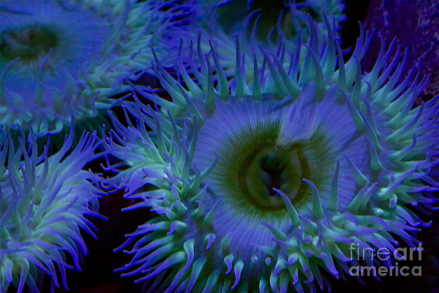 Sea Anemone Photograph