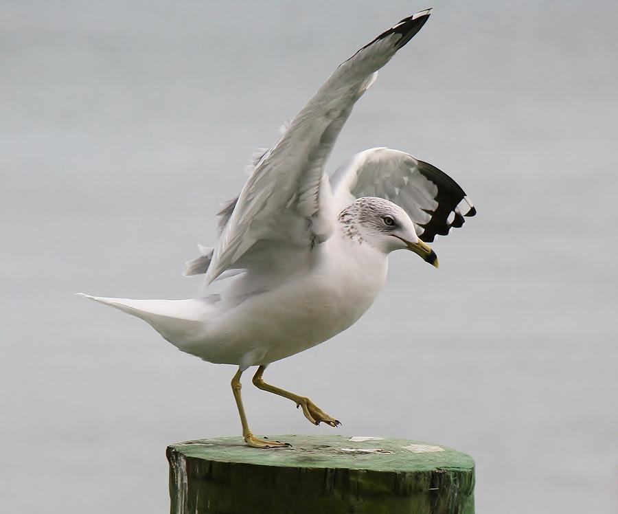 Sea Gull Photograph - Sea Gull Dance by Paulette Thomas