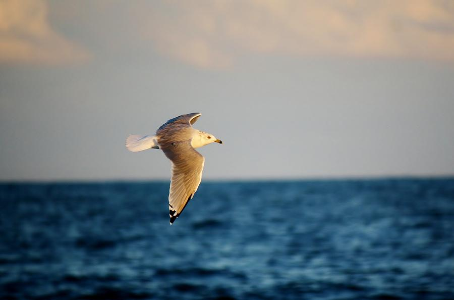 Sea Gull Over The Ocean Photograph  - Sea Gull Over The Ocean Fine Art Print