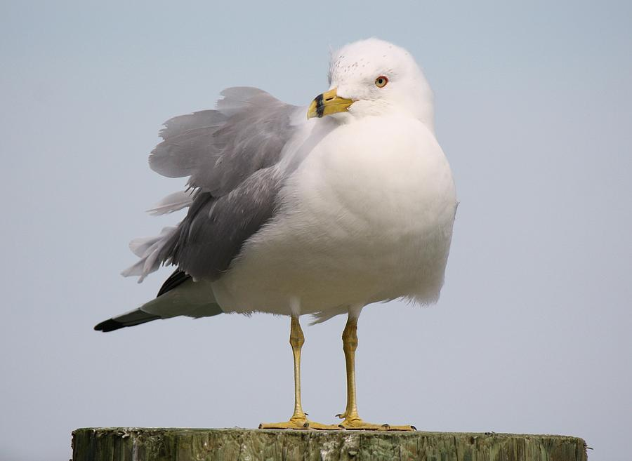 Sea Gull Photograph  - Sea Gull Fine Art Print