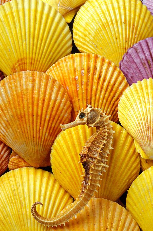 Sea Horse And Sea Shells Photograph