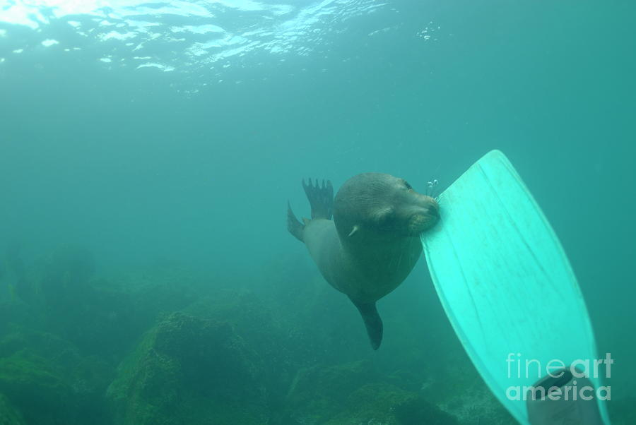 Sea Lion Biting A Diver Flipper Photograph  - Sea Lion Biting A Diver Flipper Fine Art Print