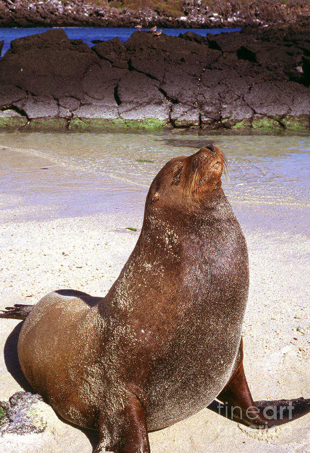 Sea Lion Photograph - Sea Lion  On Genovesa Island by Thomas R Fletcher
