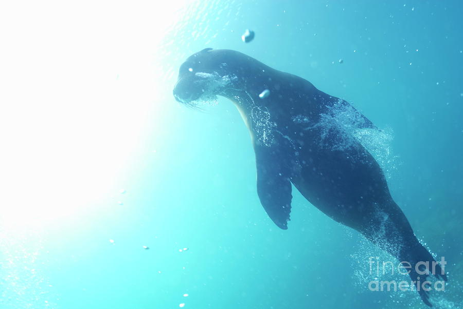 Sea Lion Swimming Underwater  Photograph