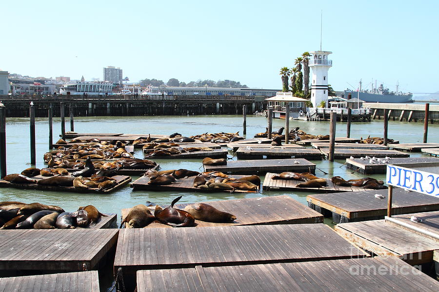 Sea Lions At Pier 39 San Francisco California . 7d14309 Photograph  - Sea Lions At Pier 39 San Francisco California . 7d14309 Fine Art Print