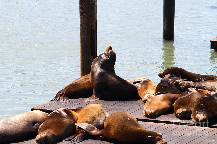 Sea Lions At Pier 39 San Francisco California . 7d14314 Photograph