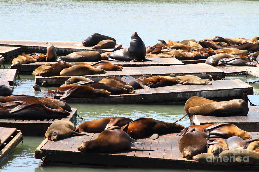 Sea Lions At Pier 39 San Francisco California . 7d14316 Photograph  - Sea Lions At Pier 39 San Francisco California . 7d14316 Fine Art Print
