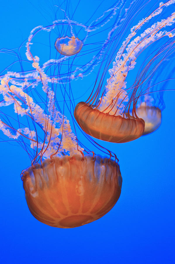Sea Nettles Chrysaora Fuscescens In Photograph  - Sea Nettles Chrysaora Fuscescens In Fine Art Print