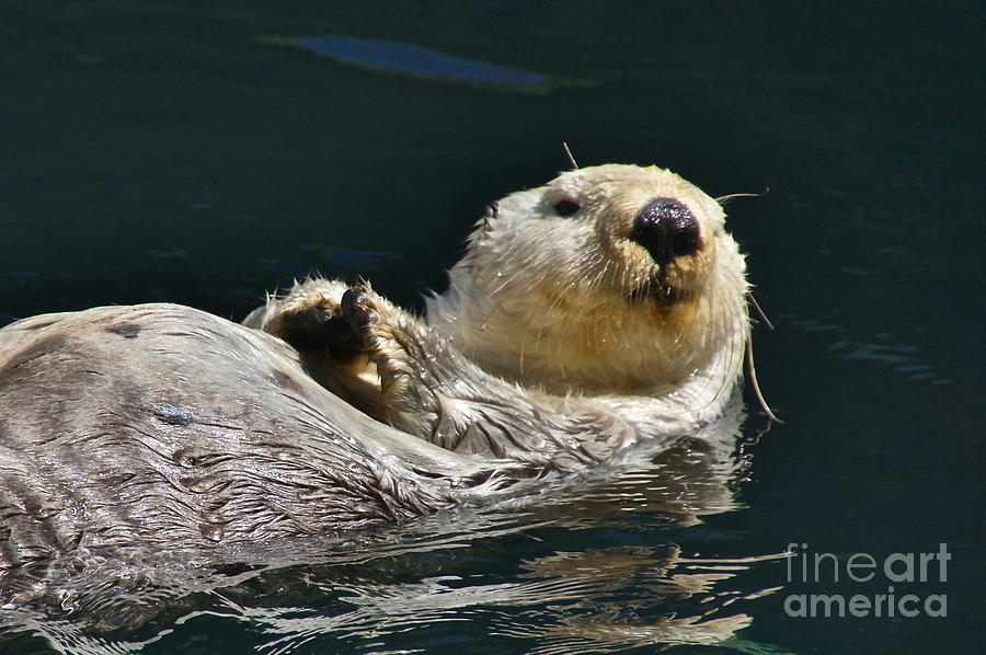 Photography Photograph - Sea Otter by Sean Griffin