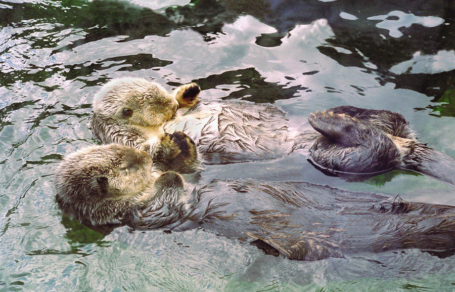 Sea Otters Holding Hands Photograph