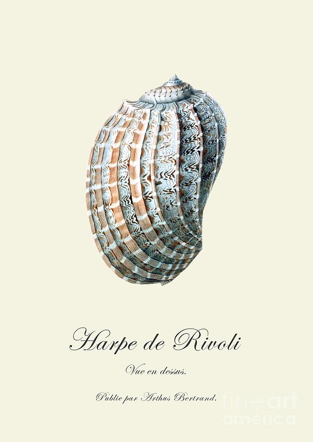 Sea Shell Drawing  - Sea Shell Fine Art Print