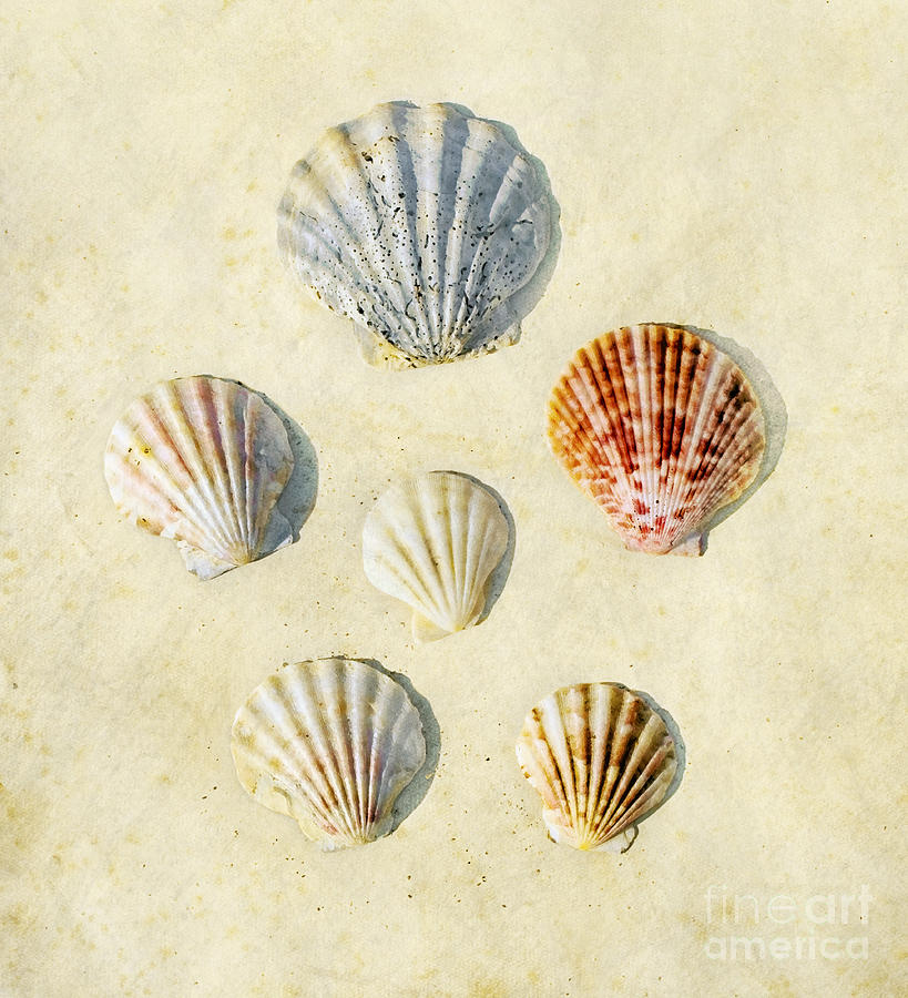 Sea Shells Photograph  - Sea Shells Fine Art Print