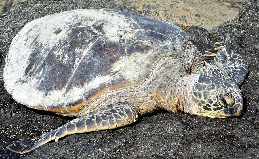 Sea Turtle Napping Photograph - Sea Turtle Napping by Danielle Del Prado