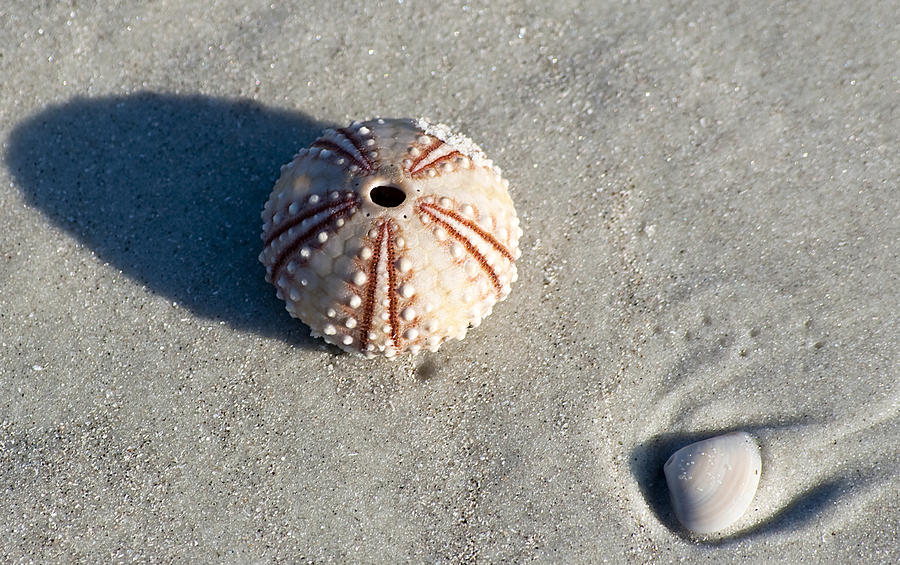 Sea Urchin And Shell Photograph