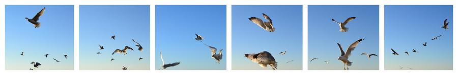 Seagull Collage Photograph  - Seagull Collage Fine Art Print