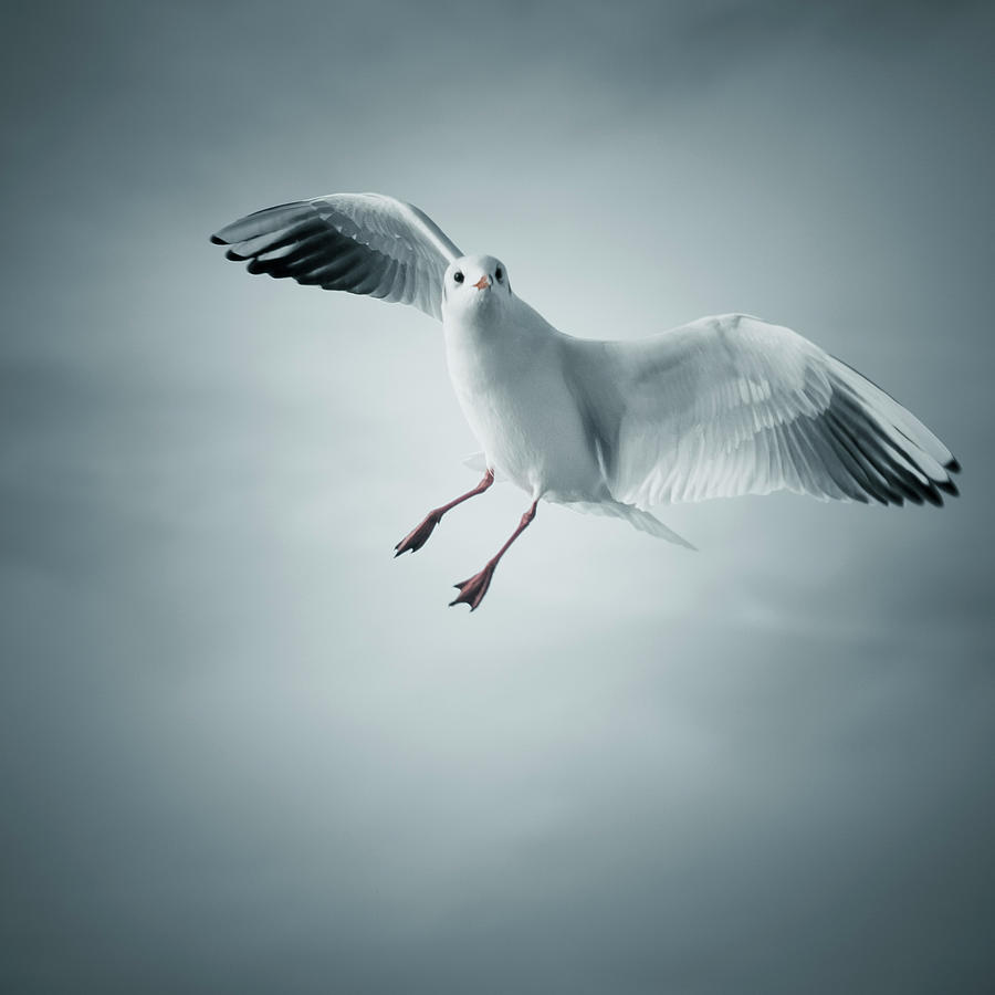 Seagull Flying Photograph  - Seagull Flying Fine Art Print