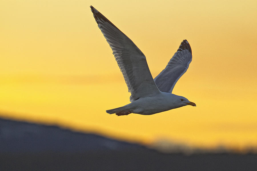 Seagull Flying At Dusk With Sunset Photograph
