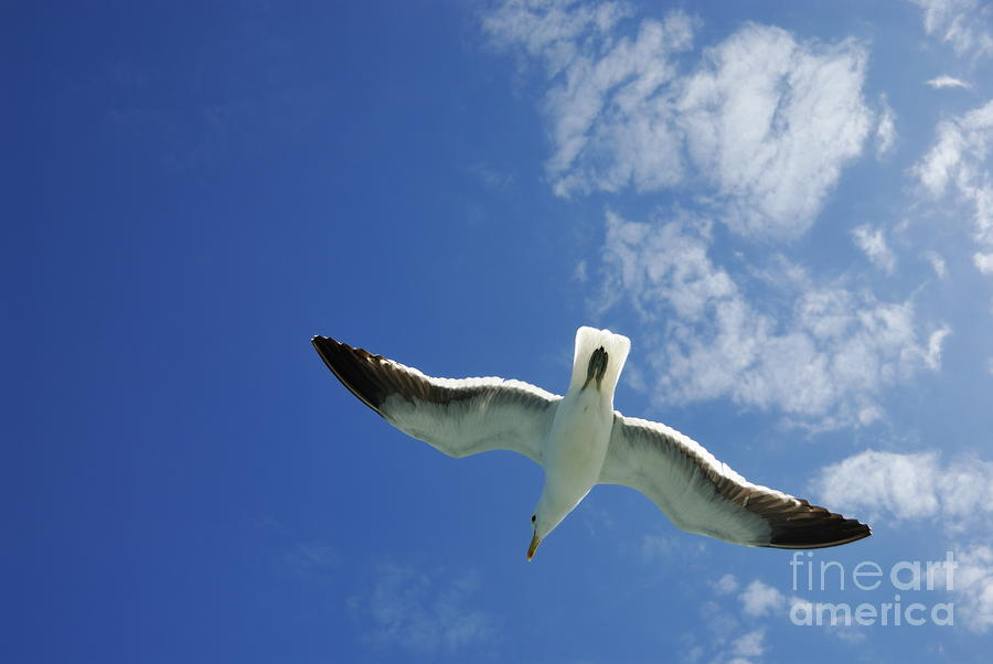 Seagull Flying In The Sky On Blue Sky Photograph