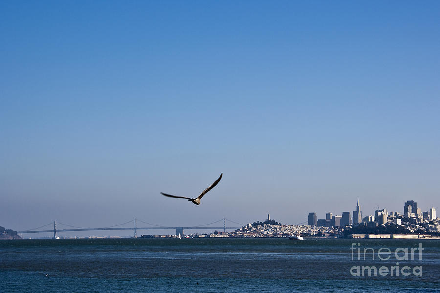 Seagull Flying Over San Francisco Bay Photograph  - Seagull Flying Over San Francisco Bay Fine Art Print
