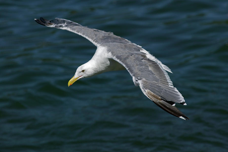 Seagull  In Flight Photograph  - Seagull  In Flight Fine Art Print