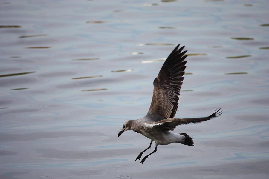 Seagull Landing Photograph
