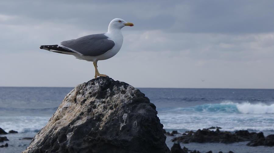 Seagull Photograph