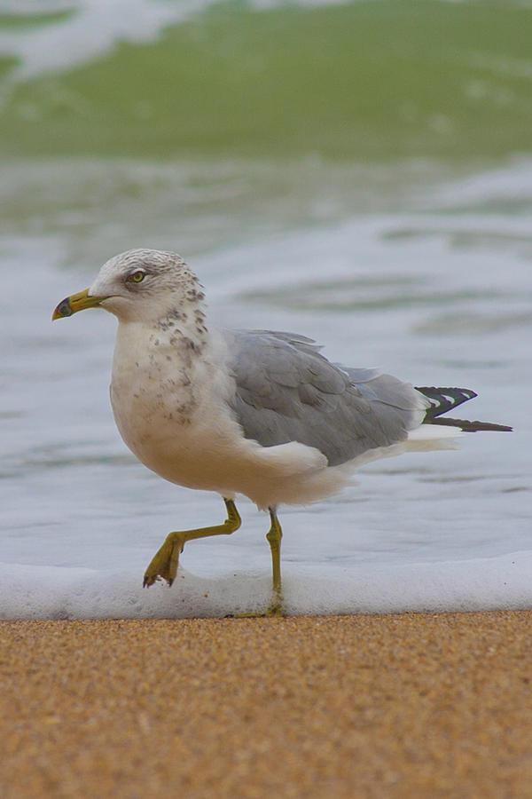Seagull Stomp Photograph