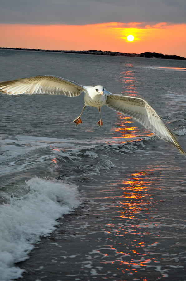 Seagull Sunset Land Photograph  - Seagull Sunset Land Fine Art Print