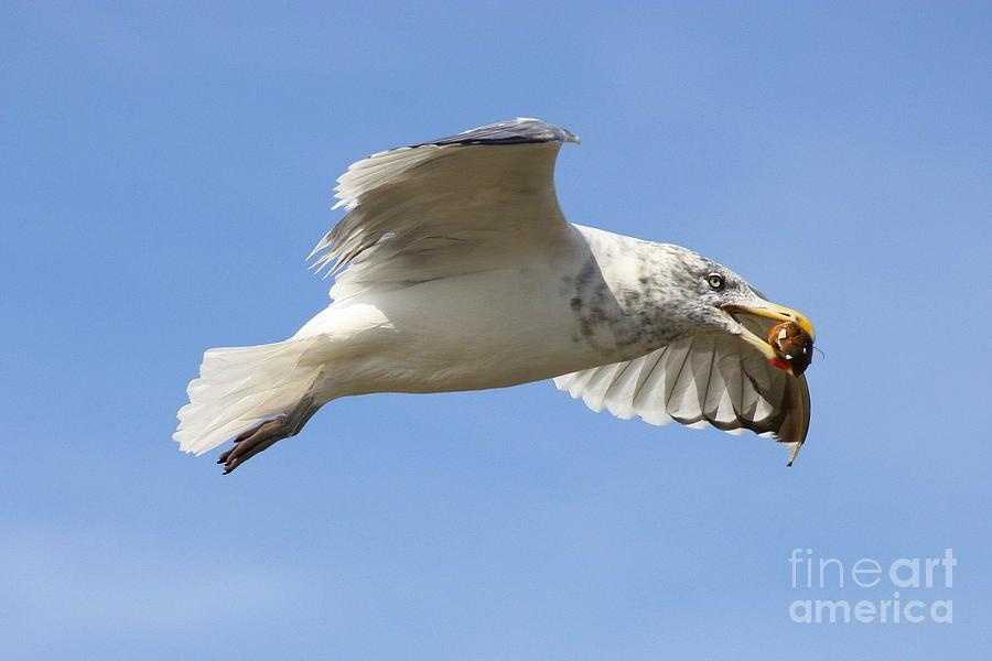 Seagull With Snail Photograph
