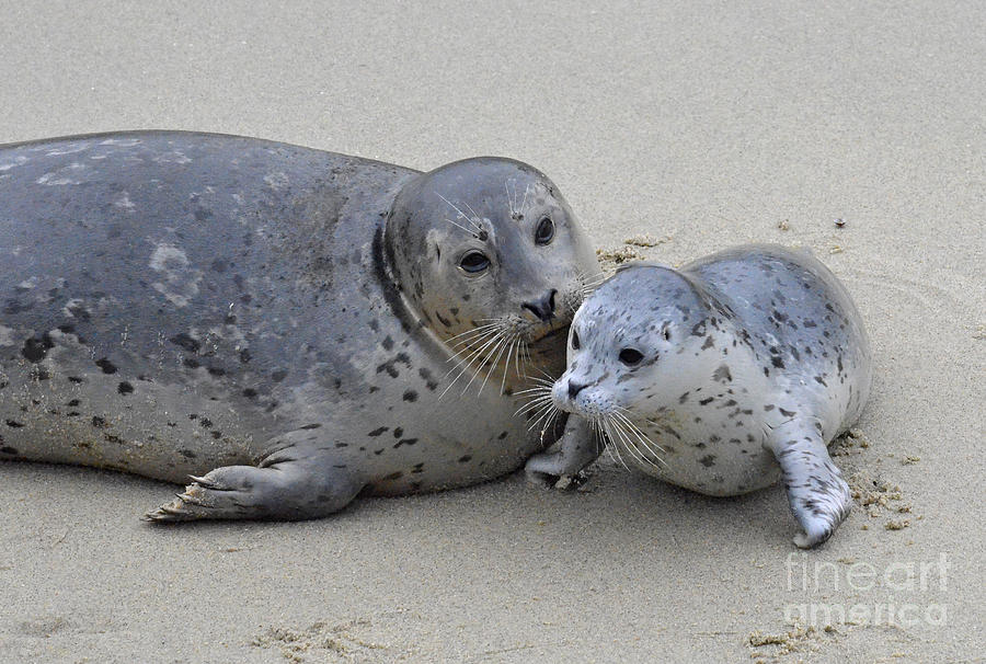 Seal Baby  Photograph