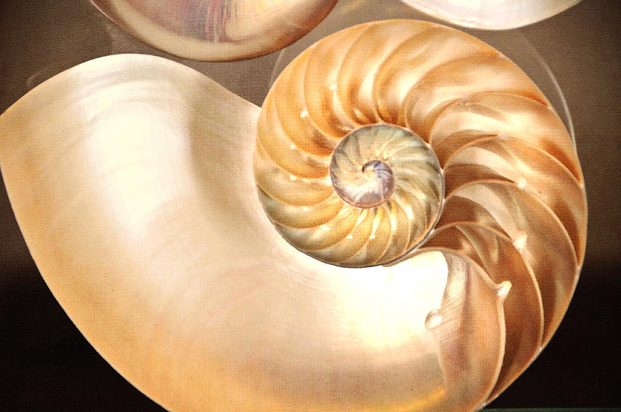 Seashell. Creamy Version  Photograph  - Seashell. Creamy Version  Fine Art Print