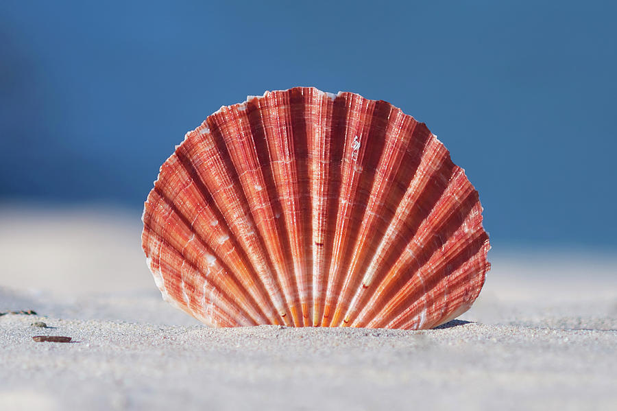 Seashell In Sand With Blue Ocean Background Photograph