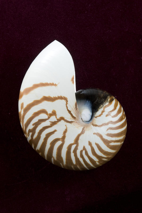 Seashell On Black Background Photograph  - Seashell On Black Background Fine Art Print