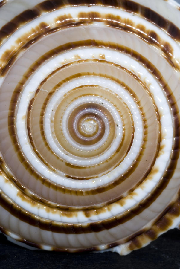 Seashell Spirals Photograph