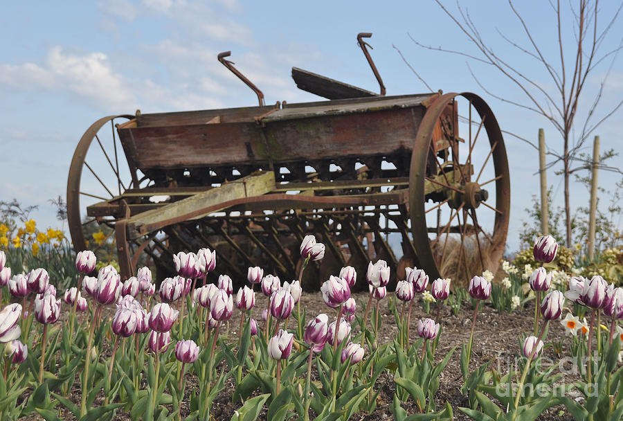 Seed Drill Tulips Photograph