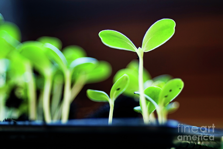 Seeding Shoots Photograph  - Seeding Shoots Fine Art Print
