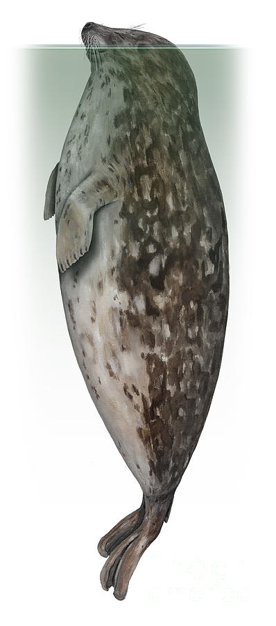Seehund - Gewone Zeehond - Steinkobbe - Fjordsel - Spaettet Sael - Landselur Kirjohyl Phoca Vitulina Painting