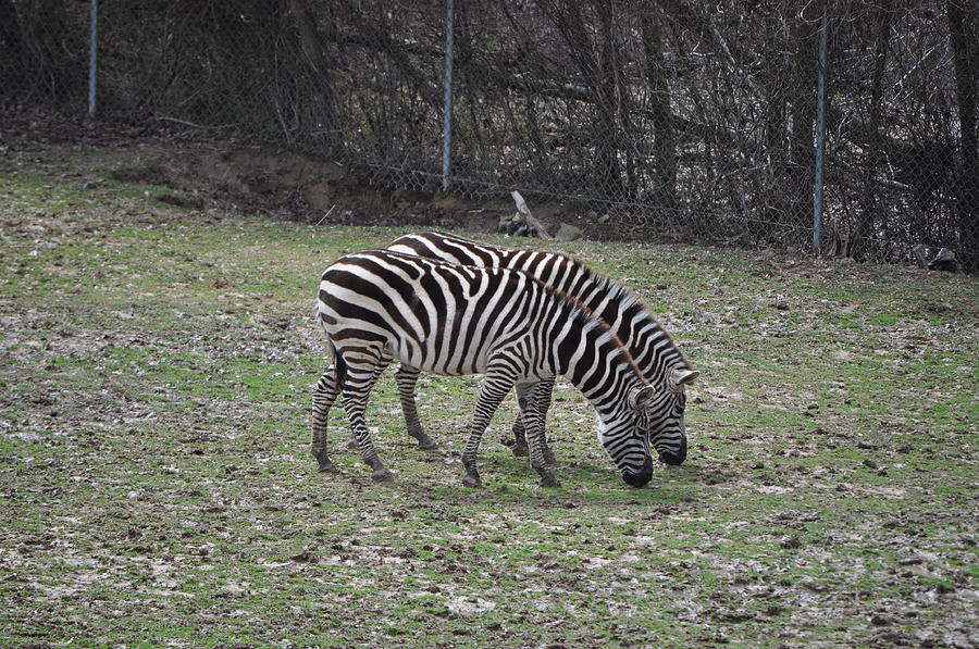 Zebra Photograph - Seeing Double by Tammy Price