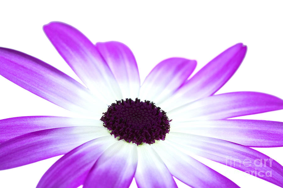Senetti Magenta Bi-colour Photograph